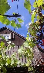 Vista cielo (martini_bianca) Tags: gebude architektur himmel blau sommer wein weinstock weinlaub trauben haus dach giebel martinibianca