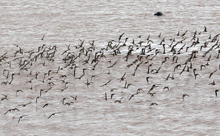 Shorebirds and Harbour Seal