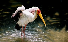 SINGAPORE STORK (patrick555666751) Tags: singapore stork asie asia du sud est south east singapura oiseaux birds aves vogel tiere dieren animali animal animals animaux