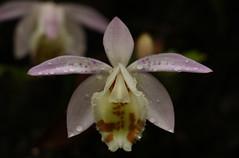 Pleione hookeriana (2) (siddarth.machado) Tags: east lachen northsikkim himalayanflora