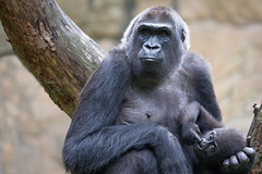 Momo + Ayo (Mel.Rick) Tags: raubtiere sugetiere zooduisburg gorilla momo ayo trockennasenaffen primaten