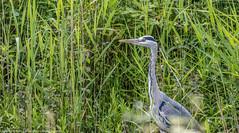 9Q6A2401 (2) (Alinbidford) Tags: heron kingfisher muteswan moorhen greyheron brandonmarsh alancurtis pairofkingfishers alinbidford