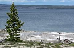 Lone Pine Geyser in overflow (1 June 2016) 1 (James St. John) Tags: lone pine geyser lakeshore group west thumb basin yellowstone volcano wyoming geysers erupt erupts erupting eruption eruptions