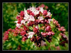 Dost (Origanum vulgare) - wilder Majoran (karin_b1966) Tags: blten blossoms pflanze plant garten garden natur nature wildpflanze wildplant 2016 dostoriganumvulgare wildermajoran yourbestoftoday