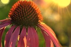 wait patiently (joy.jordan) Tags: coneflower texture light sunset petals flower summer bokeh