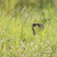 07232016 flycatcher in flight (Angie Vogel Nature Photography) Tags: bird birdinflight westernwoodpewee flycatcher wildlife ridgefieldnationalwildliferefuge