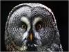 hypnotic (kurtwolf303) Tags: greatgreyowl bartkauz strixnebulosa vogel tier eule schlosswaldreichs austria waldviertel österreich europe olympusem1 omd micro43 microfourthirds systemcamera raptorcenter nature natur niederösterreich loweraustria unlimitedphotos 250v10f animal bird raptor greifvogel 500v20f topf25 topf50 topf75 750views topf100 porträt portrait eyes augen blick look 800views 900views tele 1000v40f animalplanet topf150 1500v60f 2000views