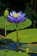Longwood 7.23.16 (Linda Moll Walker) Tags: longwoodgardens waterlilies hydregea flowers summer