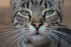 Cat portrait (vegeta25) Tags: cat macska cica nose eyes mouth nikon d3200 macro animal pet llat ngylb four legged myfuji 116picturesin2016