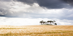 Mystic Place (memories-in-motion) Tags: uk scotland schottland inverness area mystic place historic rural landscape photography panorama format tree kiefern pines hhel hill kornfeld gerste corn field nature clouds wolken outdoor golden ernte erntezeit harvest licht light canon eos 5dmarkiii ef70200mmf28lisiiusm island insel travel oase oasis