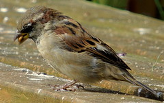 Snacking Sparrow (samm.doyle) Tags: snacking seeds sparrow bird garden warsash hampshire