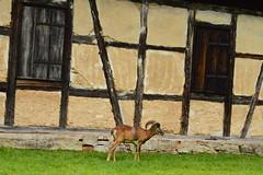 (gabibakos) Tags: goat animals gemany natur nature ludwigsburg