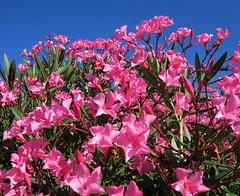 Flowers of my garden for Nori [Explore du 13 aot 2016] (Yvette Gauthier) Tags: hommage fleur laurierrose nori elinor noramszly