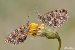 Boloria selene (alfvet) Tags: macro veterinarifotografi insetti farfalle butterflies nikon sigma150 ngc npc