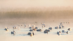 Horicon Marsh (overthemoon3) Tags: horiconmarsh egrets pond marsh birds nature wildlife
