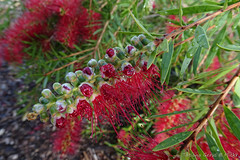 Bottlebrush flowers opening up (Tatters ) Tags: australia flowers redflowers bottlebrush callistemon flowerbuds buds myrtaceae cultivated closeup macro