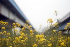 L1008455c (haru__q) Tags: leica m8 leitz summicron field mustard