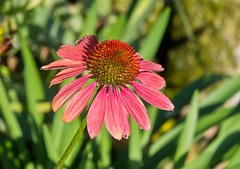 Rot / Red (schreibtnix off : gone taking pictures) Tags: deutschland germany bergischgladbach natur nature pflanzen plants blumen flowers blte blossom rot red echinacea purpleconeflower echinaceapurpurea nahaufnahme closeup olympuse5 schreibtnix