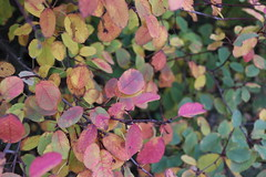 Syksyinen pensas (Ebba Blomqvist) Tags: colors leaves nature autumn sysmä