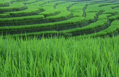 Rice Terrace Pattern (narenrit) Tags: rice terrace green north mountain clound sky mist farmer farm view scenic beauty tree forest hill top raining hut homestay pattern grassland landscape field outdoor grass plant plain