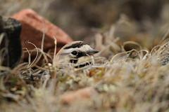 Horned Lark hiding while sitting on a nest (Blue Tale) Tags: nunavut arctic north polar tundra bird horned lark songbird hornedlark eremophila alpestris bakerlake