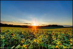 Sunset @ Jarrettsville Sunflower Field (Nikographer [Jon]) Tags: sunset jarrettsville maryland md 20160906d4228801 hdr sunflowers sunflowerfield flower yellow landscape nikon d4 nikond4 g