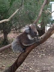Koala:)