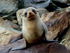 Anglų lietuvių žodynas. Žodis common seal reiškia paprastasis ruonis lietuviškai.
