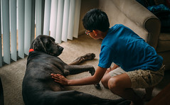 L1000017.jpg (joseph.salud) Tags: boy dog pet mix greatdane weimaraner petting connection summilux3514 leicam240