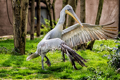 Curtsy (PhilippeGarcia) Tags: france zoo wing pelican curtsy plumes aile pelecanus crispus plican fris amnville rvrence