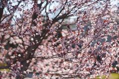 pinkalicious (gwuphd) Tags: flowers sun sunlight 50mm nikon dof bokeh cherryblossoms swirly f12 pinkalicious