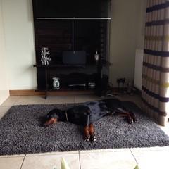 Gunner (Dls Bute) Tags: sleeping dog holiday relax chilling tired doberman gunner comfy dobermann shinyboy