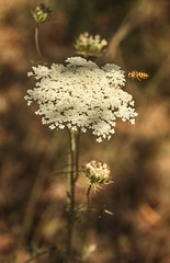 lace and sting (laura's worlds) Tags: queenannslace bug insect plant flower medicinalplant bee flight nature green white umbelliferae summer pollination botany
