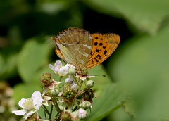 Silver-washed Fritillary----Argynnis paphia (creaturesnapper) Tags: uk europe butterflies insects lepidoptera fritillaries nymphalidae argynnispaphia silverwashedfritillary