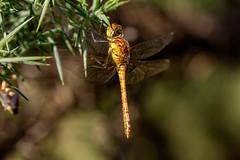 _MG_1879 (jjays7155) Tags: eos7d cadnamcommon ef70200f4 dragonfly