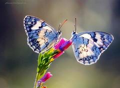 Israel flowers with butterfly duo (jackfre2) Tags: telaviv plants saronapark gardens israel flowers sarona butterflies ngc npc