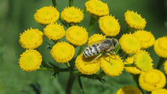 What Kind Of Bee? (shesnuckinfuts) Tags: bee tansy kentwa shesnuckinfuts july2016 nature wildlife insect plant