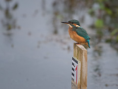 Kingfisher - Number one (Tony McLean) Tags: kingfisher naturephotography eastyorkshire wildlifephotography eisvogel tophilllow nikond4 nikon500f4gvr 2016tonymclean