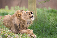 Call of the Wild (WisteriaLane) Tags: lions ernest specanimal fantasticnature sandiegozoosafaripark
