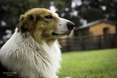 'Xirú' (Suzana Fernandes Fotografia) Tags: dog workersheep ovelheiro gaucho campeiro campo rural ri ogrande do sul pastoreio amigo tupancireta pampa