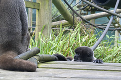 The wee one was trying to surprise the adult (vic_sf49) Tags: vicsf49 uk england dorset monkeyworld cronin