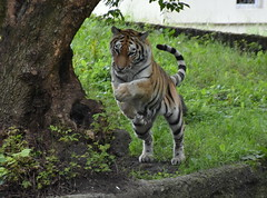 Happy girl  :) (eowina) Tags: nature animals zoo tiger