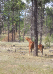 I58C9871-cropped (Wild Arizona Photography) Tags: trees nature forest wildhorses