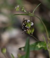 Fly Fidelity (harefoot1066) Tags: nyctaginaceae boerhavia spiderling boerhaviaerecta erectspiderling diptera aschiza syrphidae eristalinae volucellini copestylum copestylummarginatumgroup syrphidfly