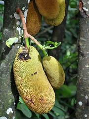 Lake Toba - Jack Fruit (Drriss & Marrionn) Tags: travel laketoba samosir sumatra indonesia outdoor fruit jackfruit tree trees