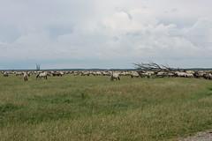 A big herd of Konik horses (Beyond the grave) Tags: oostvaardersplassen flevoland netherlands polder belowsealevel newnature konikhorses wildhorses horses landscape