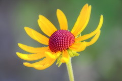 sunflower (wdterp) Tags: sunflower wildflower yellow soft summer