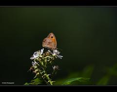 Naturschnheit am Wegesrand (geka_photo) Tags: gekaphoto schmetterling pflanze falter blte grn braun aschberg schleswigholstein deutschland