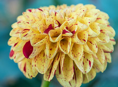 Day of the Dahlia (2) (tquist24) Tags: bonneyvillemillcountypark indiana nikon nikond5300 outdoor bokeh dahlia flower geotagged macro pretty upclose bristol unitedstates