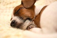 Lexi the Puppy (Photography By Haylea) Tags: puppy pup puppies dog dogs cute small cross breed jack russell yorkshire terrier mongrel tiny 8 weeks